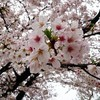 桜の季節です