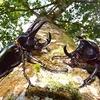 昆虫記者更新・コーカサスオオカブトの来る高原の宿へようこそ