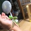 【史上最強の昆虫】鳥もたべちゃう?白亜紀から代々進化している【カマキリ先生】を深堀り!意外にかわいい。