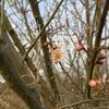 梅が一輪咲きました