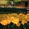チューリップの名勝!昭和記念公園!一面の大地を彩る雄大で可憐な景色