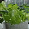 スポンジ水耕栽培で始めた大葉とサニーレタス(1ヵ月と2週間目)