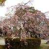 2017年3月下旬、大仙公園の桜が咲き始めていたよ!【大阪府堺市】