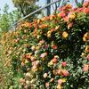 南通植物園のバラが満開