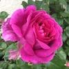 ドラマティック レイン、オトナ色のバラ満開!