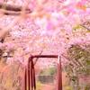 【珍道中】河津桜と菜の花!春爛漫、松田の旅~絶景かな、絶景かな!