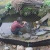 2021年6月9日(水)早朝 庭池のメスイシガメ産卵