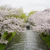伏見疎水で十石舟と桜のコラボなど