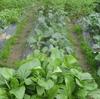 冬野菜、収穫