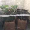 ベランダ家庭菜園で簡易温室ビニールハウスを100均グッズで作る方法