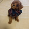 愛犬(トイプードル)の写真と動画を淡々と貼る記事。生後70日ごろ