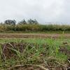 玉ねぎ・ニンニクの定植とゆめかおりの発芽