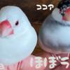 文鳥ほぼLIVE
