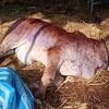タイ東北部イサーン地方を襲う新たなウィルス…コーンケーン牛や水牛移動禁止