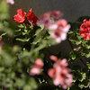 ゼラニウム開花