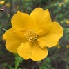 ヤマブキとシャガの花