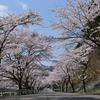芸北桜2本!【四輪】