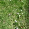 芝生にチリアヤメ