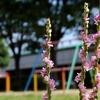 公園のネジバナ 2015