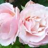 写真に耐えうる花がやっと咲いてくれました