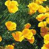 今日の誕生花「ハナビシソウ」群落には盃がいっぱい並んでる花!
