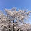 桜前線2019@農試公園~新川通 平成の花見納め