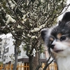 亀戸天神の梅が咲き始めていました