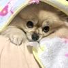 ポメごま、毛布と仲良し。