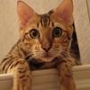 ベンガル猫カノンのご紹介