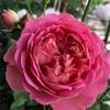 5/5 バラの開花が始まりました♪