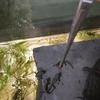 アカハライモリ幼体('17)の成長 1