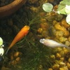 特別成長が遅かった金魚の稚魚容器卒業