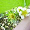 いちごの花といちごジャム
