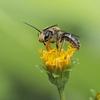 よくわからないハチ