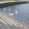ときわ公園に帰って来た白鳥たちの話。