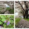 散りはじめた桜と畦畔の草刈りとあぜ塗りと『Super Folk Song』など