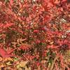 赤い南天の葉