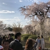 円山公園  桜  祇園しだれ  古桜からの教え