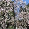高野山 壇上伽藍周辺の桜!根本大塔、奥の院、大門お勧めスポット!