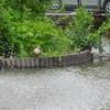 弁天池のカルガモ親子!