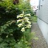 庭に咲く変な花々。オオウバユリなど