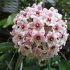 2度目のホヤ・サクラランの花