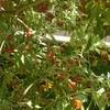 ロシアンオリーブの実、完熟!