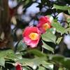 朝日に輝ける赤い椿