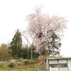 上岡・墓守桜・・