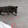 甲斐犬サンとリードとワタシ❤︎の巻〜コレデ良イノン?(・:゚д゚:・)ハァハァ