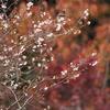 能登路十月桜