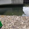 防府のドブ川で、60㎝超えの巨魚・怪魚と闘ったある有給の話。 @防府市田島のどこか