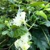 熱い中、涼し気なカラスウリの花が目についた