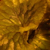 ダウボーイの子株から胞子葉が出てきた。